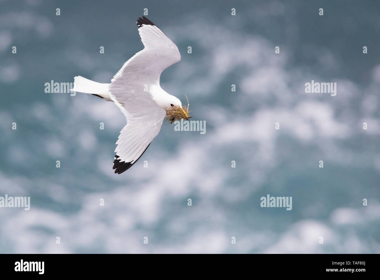 Black-legged Kittiwake (Rissa tridactyla), adult in flight carrying material for the nest, Northeastern Region, Iceland Stock Photo
