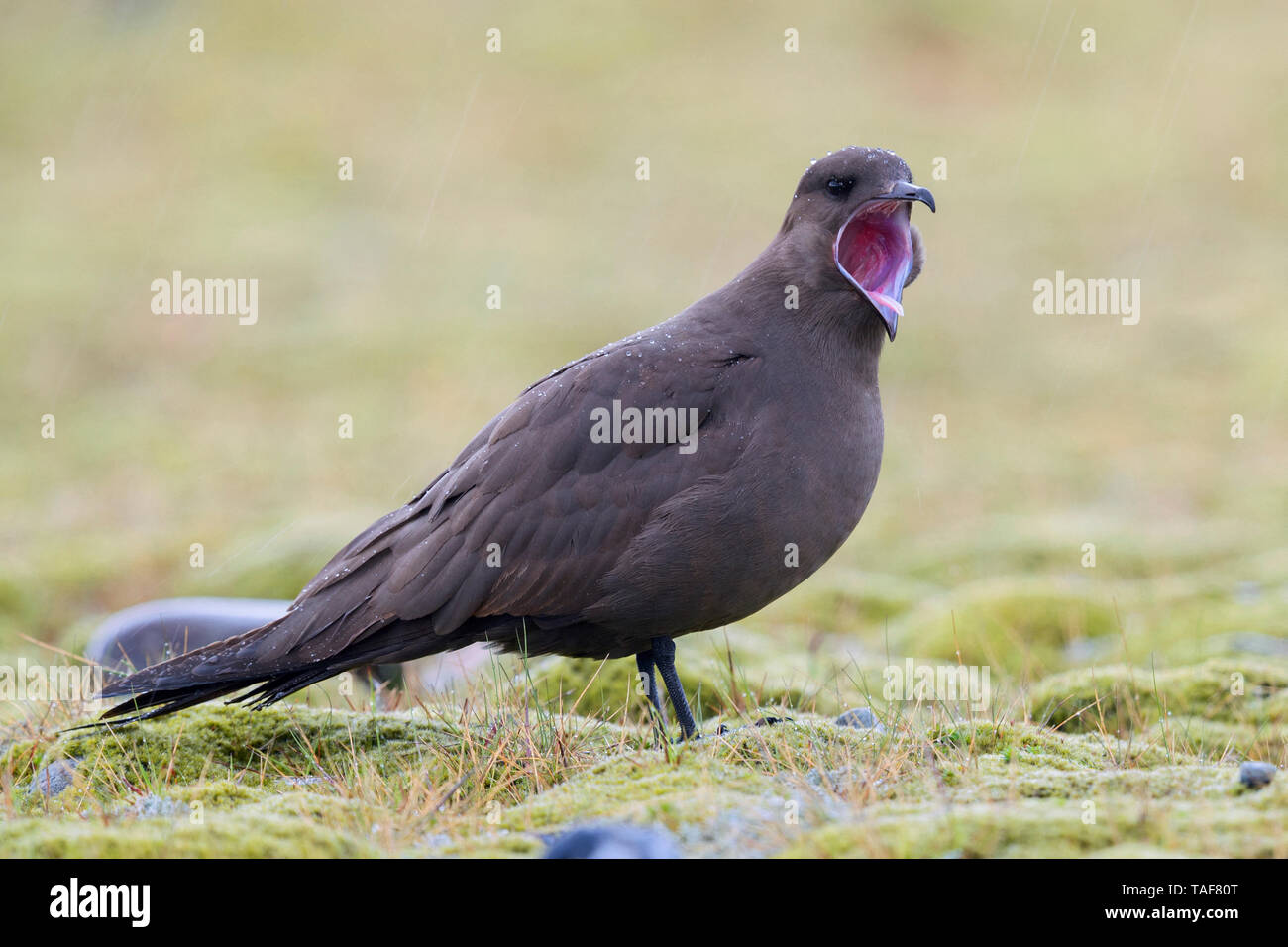 Parasitic Jaeger (Stercorarius parasiticus), dark morph adult standing on the ground with open mouth, Southern Region, Iceland - Stock Image