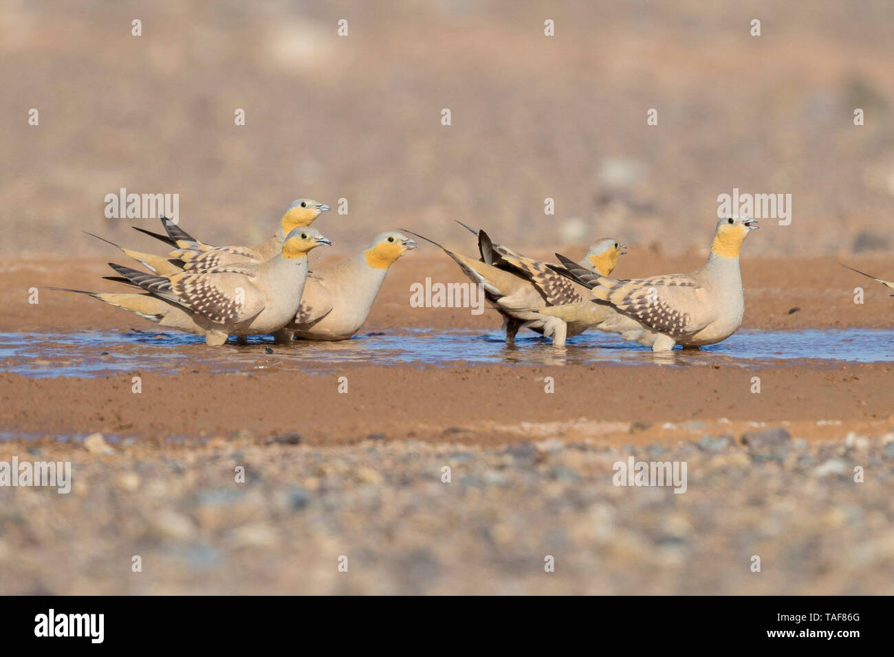 Spotted Sandgrouse (Pterocles senegallus), small flock at drinking pool, Draâ-Tafilalet, Morocco Stock Photo