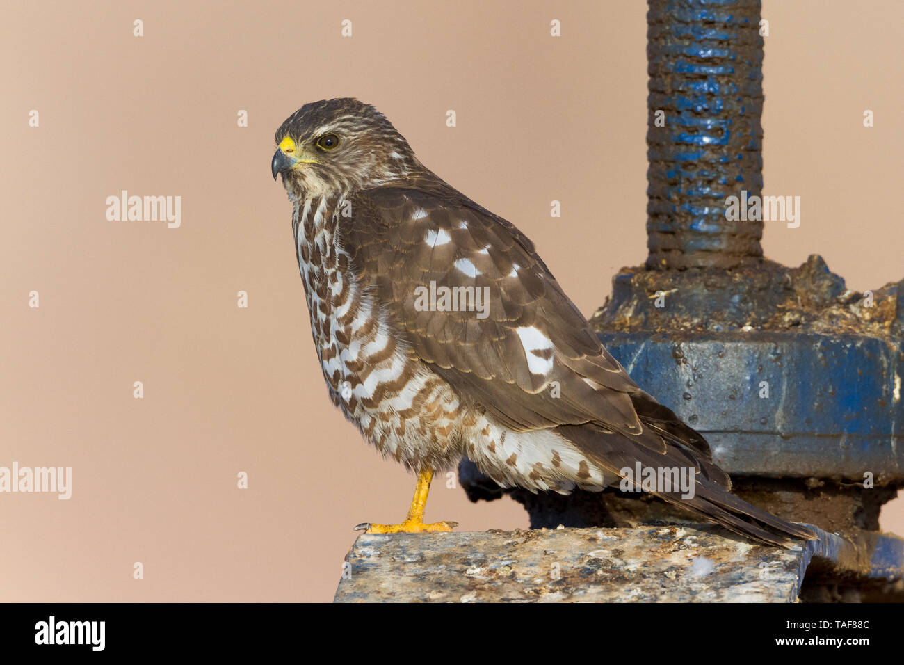 Levant Sparrowhawk (Accipiter brevipes), juvenile standing on a sluice, South Sinai Governorate, Egypt - Stock Image
