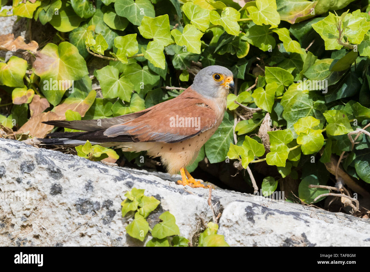Lesser Kestrel (Falco naumanni), adult male standing on a rock in Matera Stock Photo