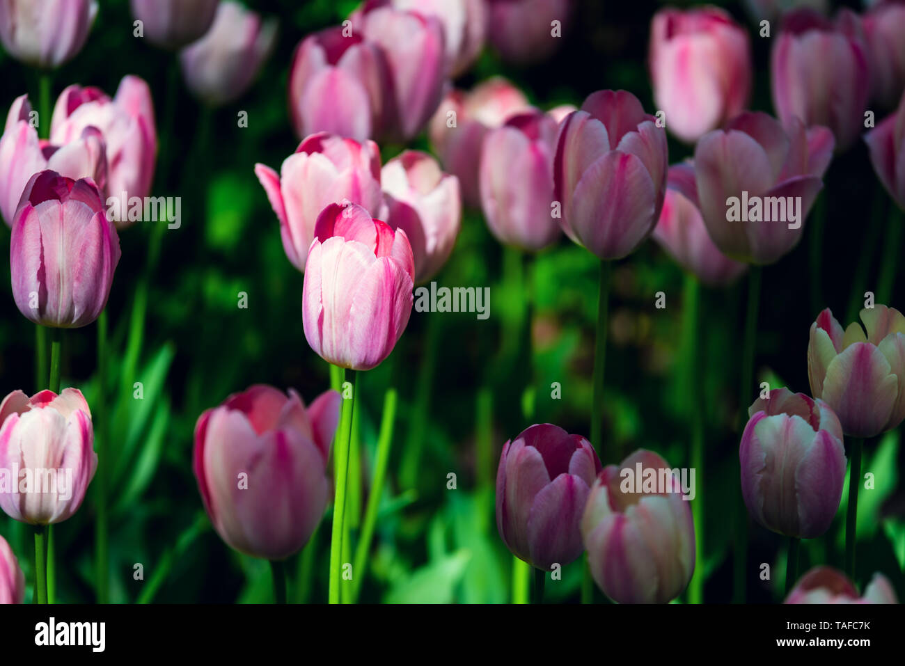 Beautiful and colorful tulips on the sunny field. Large close-up photography from Tulip Festival. Stock Photo