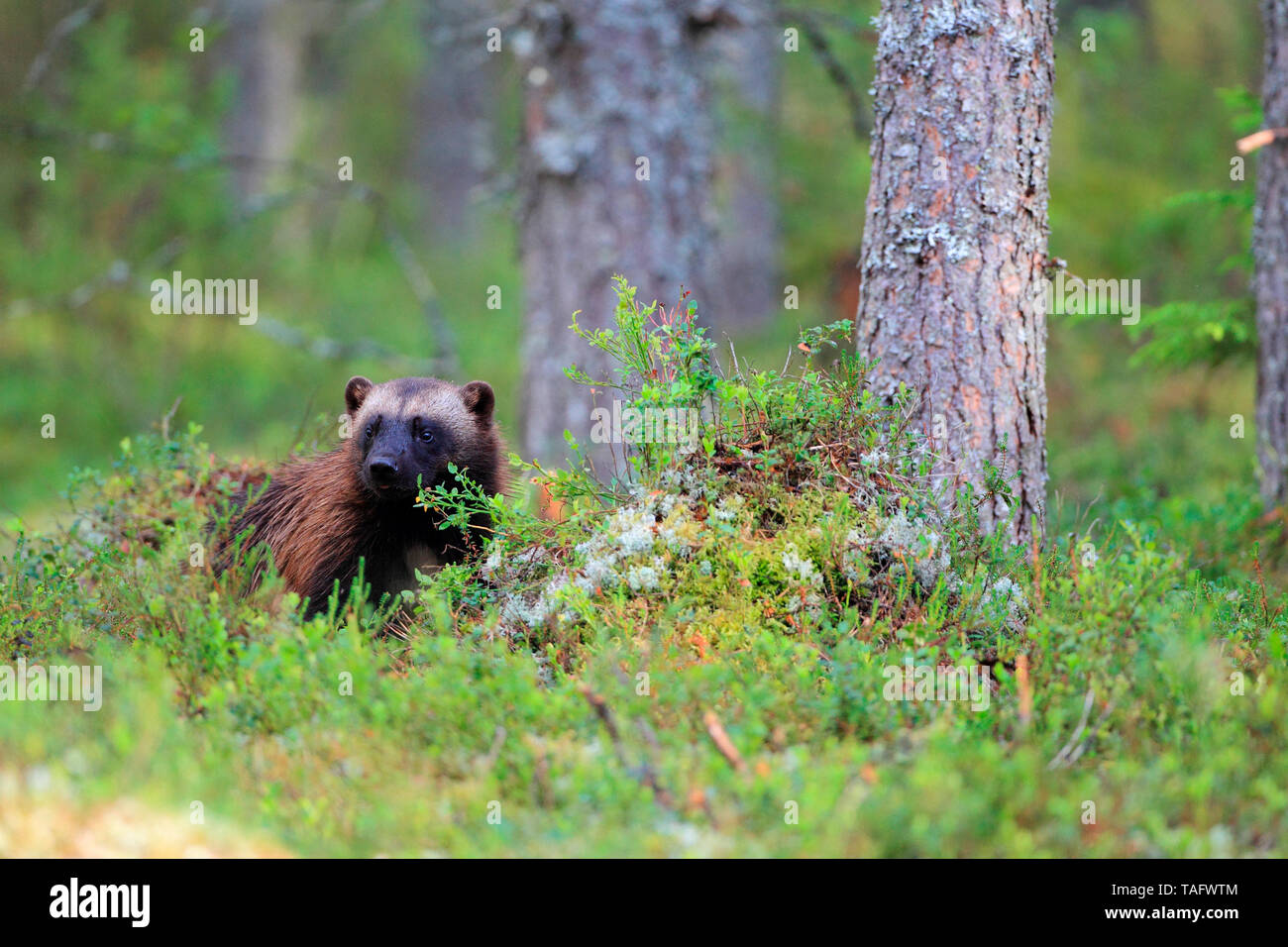 Wolverine (Gulo gulo) in the boreal forest - Stock Image