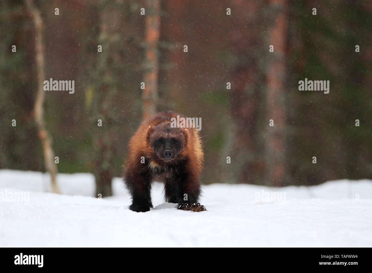 Wolverine (Gulo gulo) in the snow in the boreal forest - Stock Image
