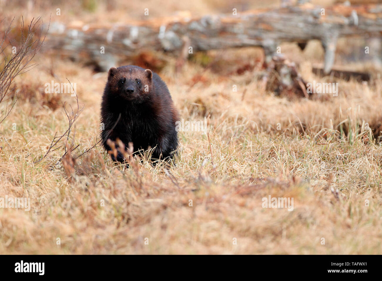 Wolverine (Gulo gulo) looking for food in the vegetation at the end of winter - Stock Image