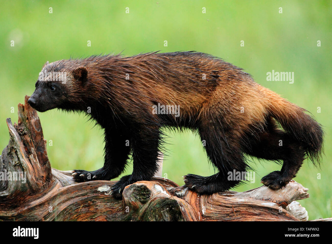 Wolverine (Gulo gulo) on a stump in the boreal forest - Stock Image