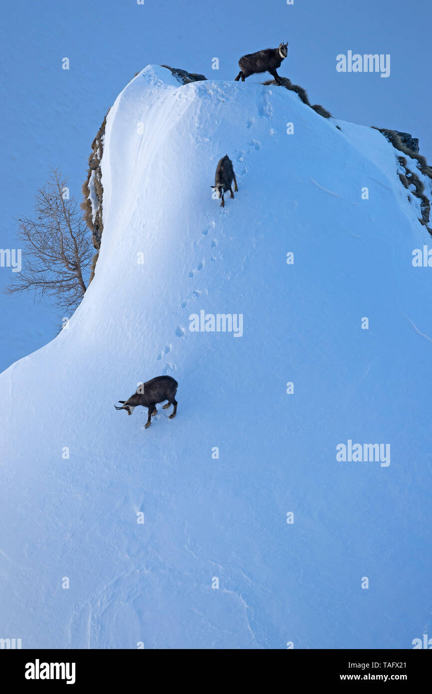 Alpine Chamois (Rupicapra rupicapra) in the snow, Valais, Switzerland - Stock Image