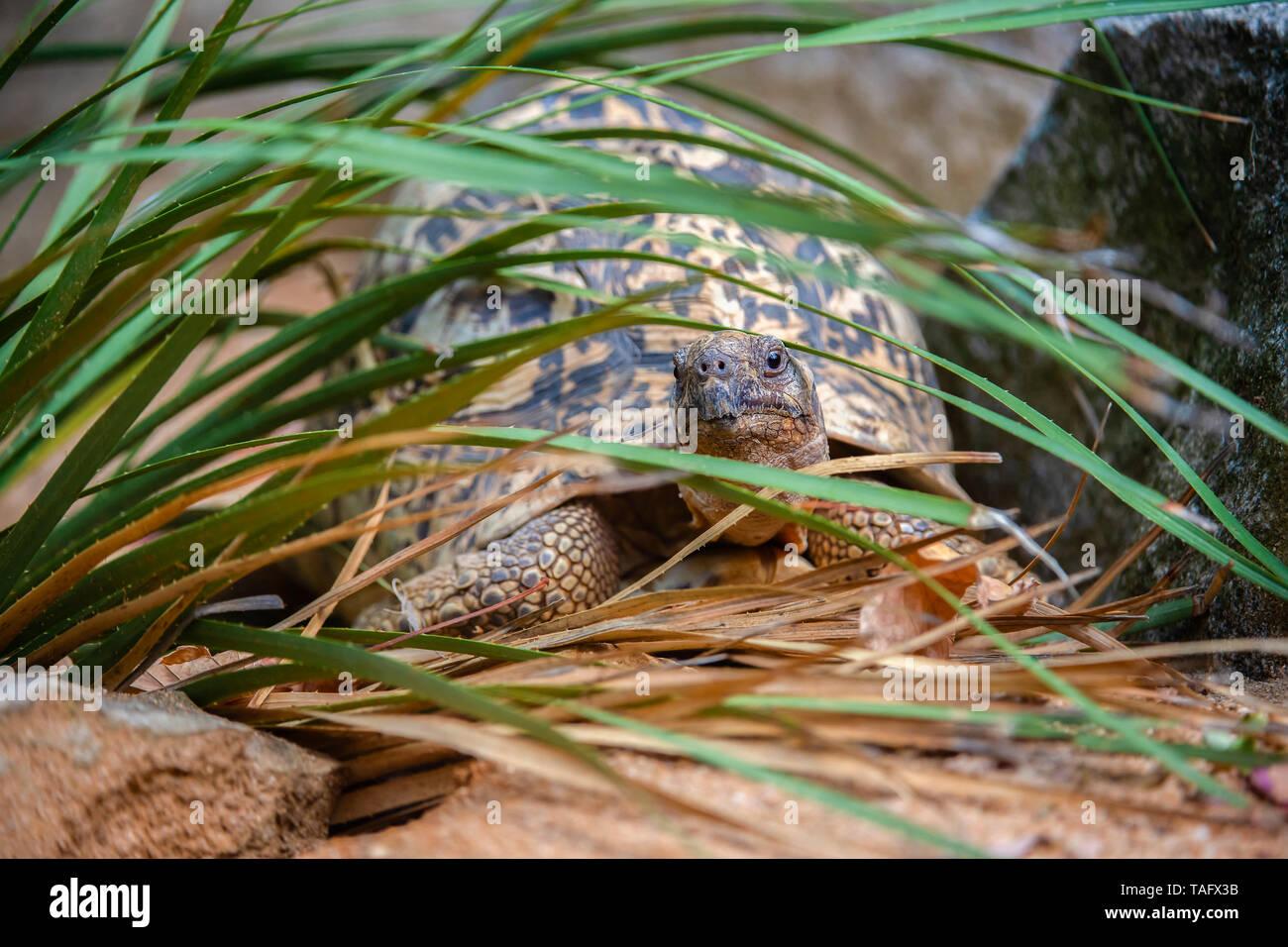 Leopard tortoise (Stigmochelys pardalis) among the vegetation, BioParc, Doue-la-Fontaine, Pays de la Loire, France - Stock Image