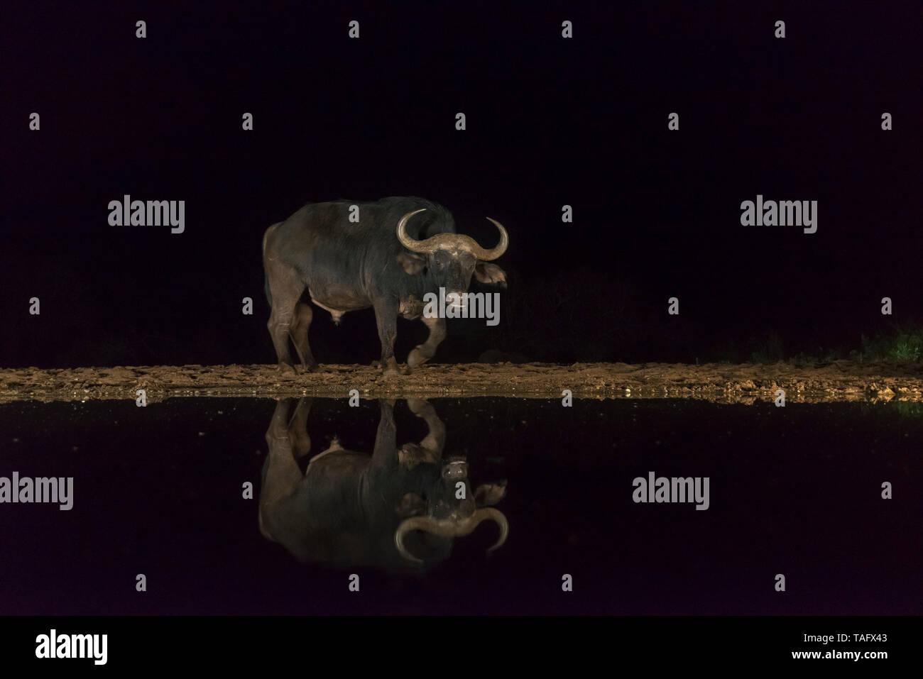 African Buffalo (Syncerus caffer) at the water's edge at night, KwaZulu-Natal, France Stock Photo