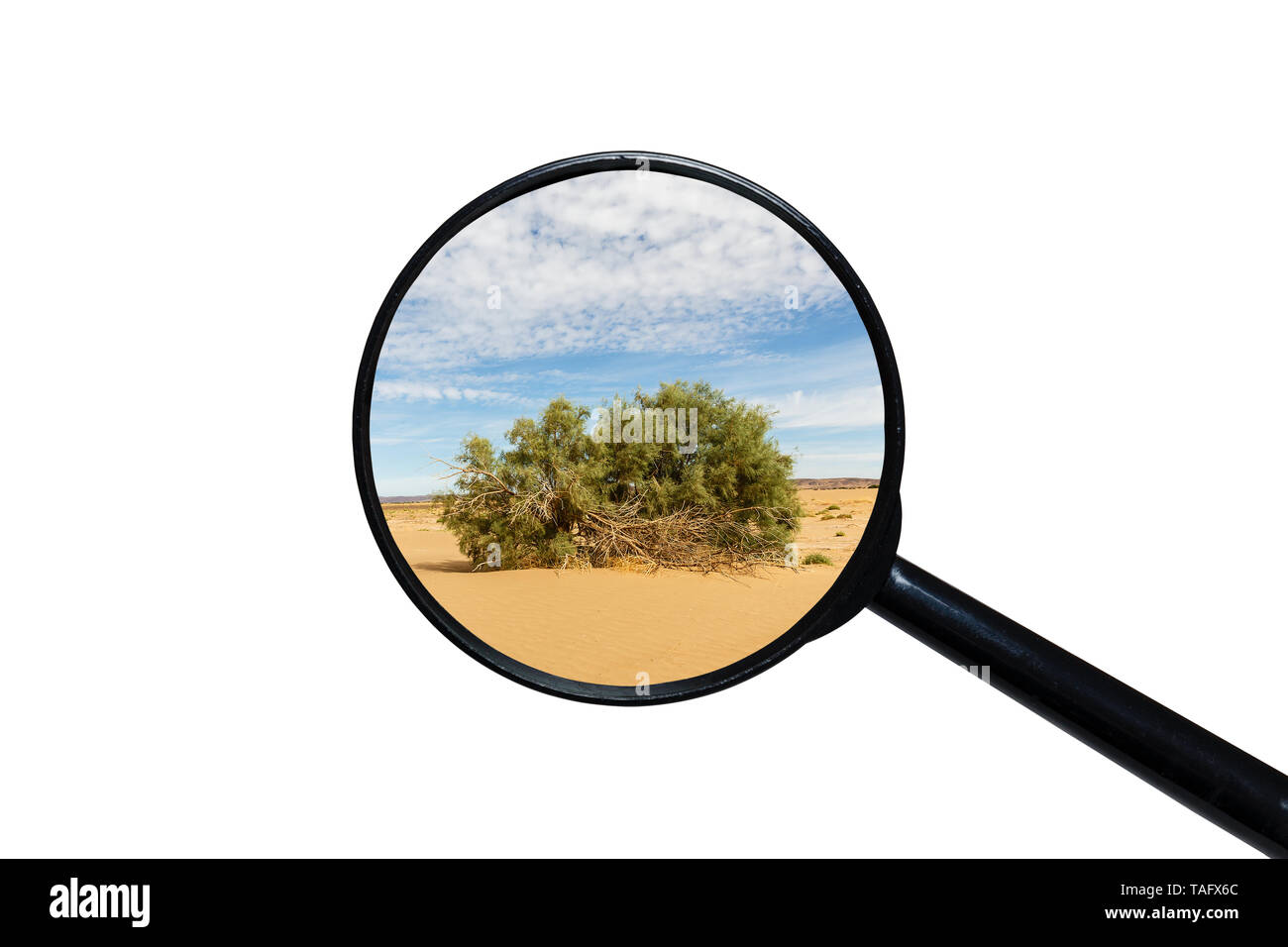 green shrub in the Sahara desert, view through a magnifying glass on a white background - Stock Image