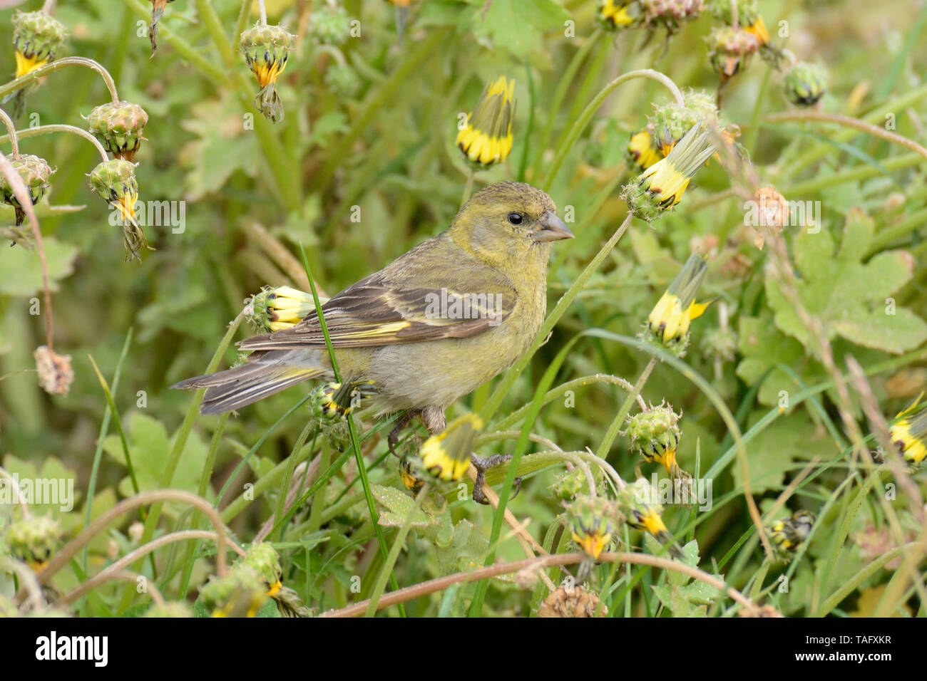 Black-chinned Siskin (Spinus barbatus), Fringillidae, female, Cobquecura, VIII Region of Biobío, Chile - Stock Image