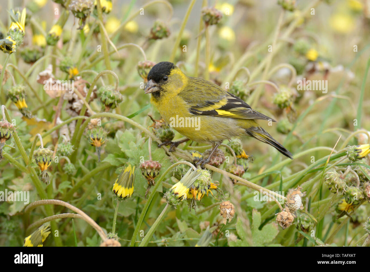 Black-chinned Siskin (Spinus barbatus), Fringillidae, male, Cobquecura, VIII Region of Biobío, Chile - Stock Image