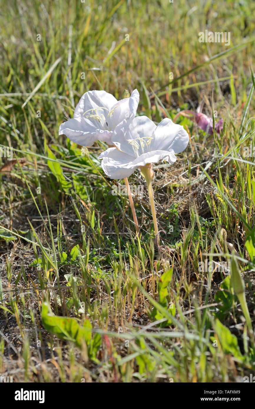 Don Diego de la noche (Oenothera acaulis), Onagraceae endemic to Chile, medicinal plant, Aguas Claras Park, Cachagua, V Region of Valparaiso, Chile - Stock Image