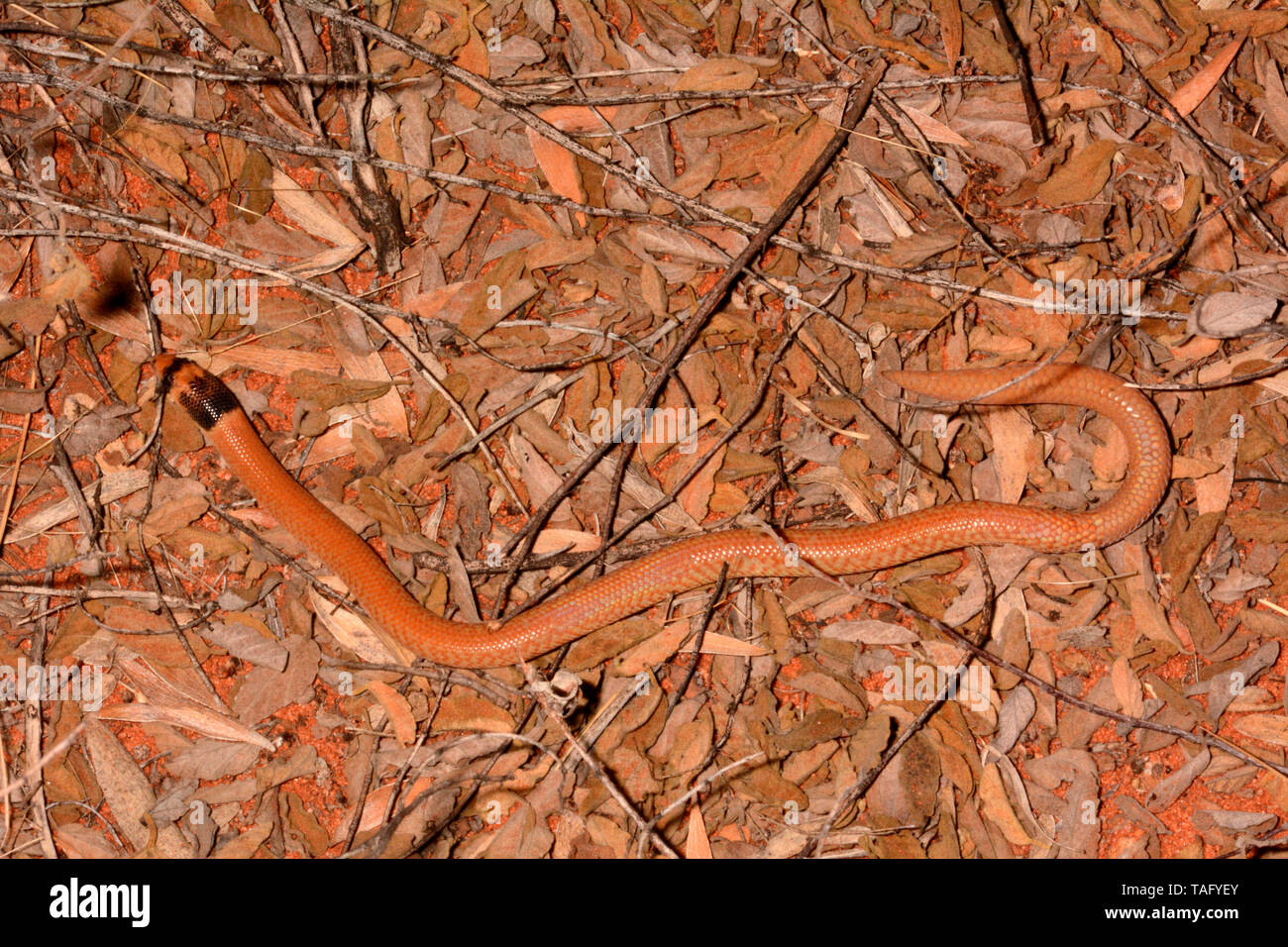 Western Hooded Scaly-foot (Pygopus nigriceps), Yulara, Red Center, NT, Australie - Stock Image