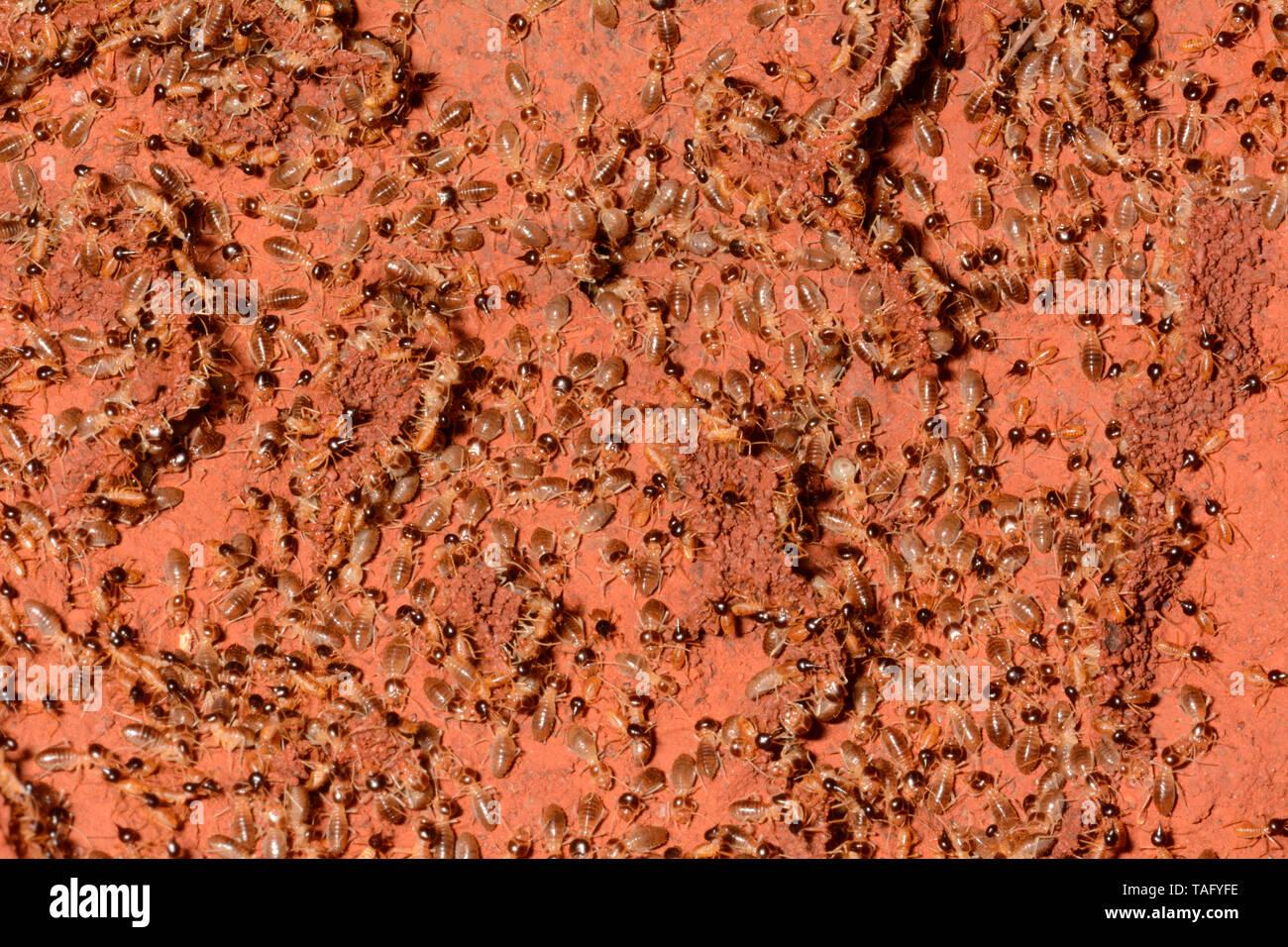 Termites (Isoptera sp), Karijini National Park, WA, Australia - Stock Image