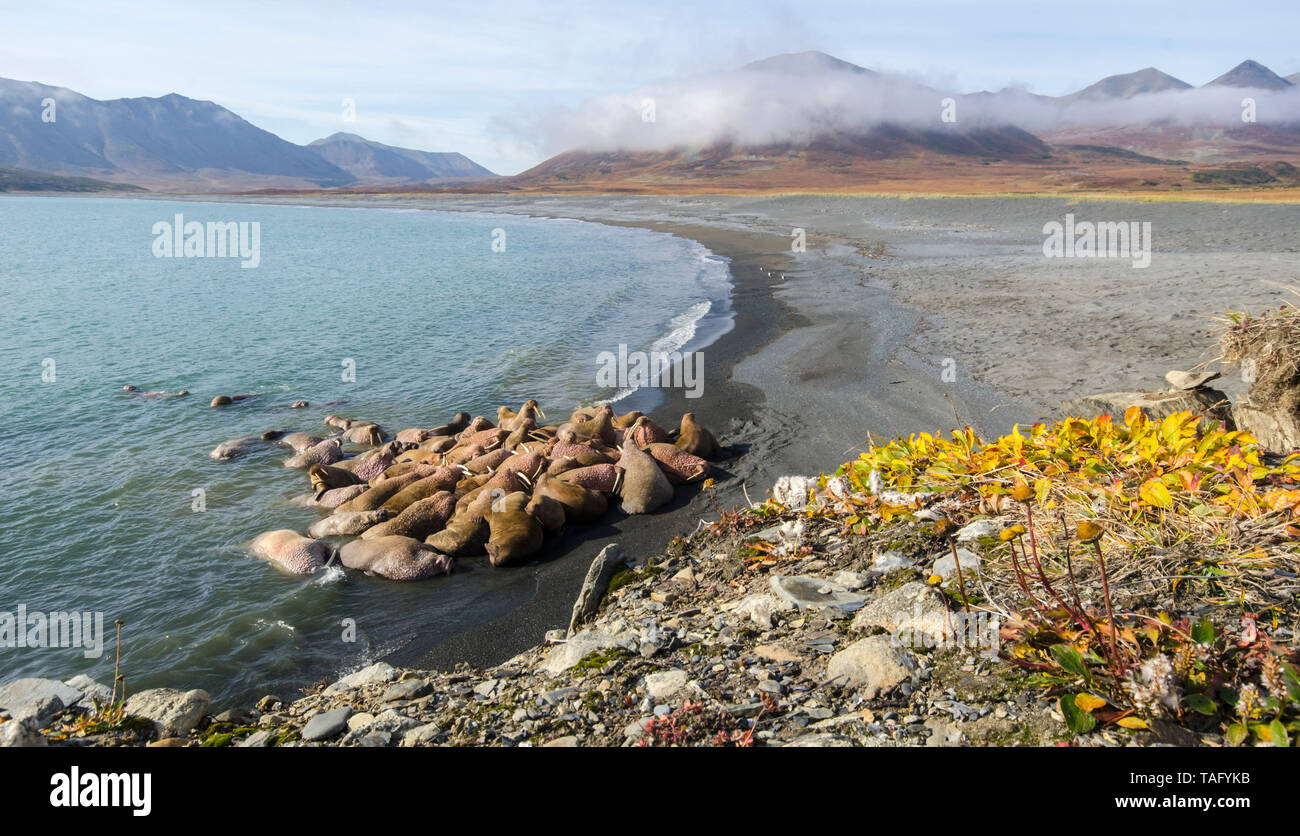 Pacific Walrus (Odobenus rosmarus divergens), Colony on a beach in the Russian Arctic. Stock Photo