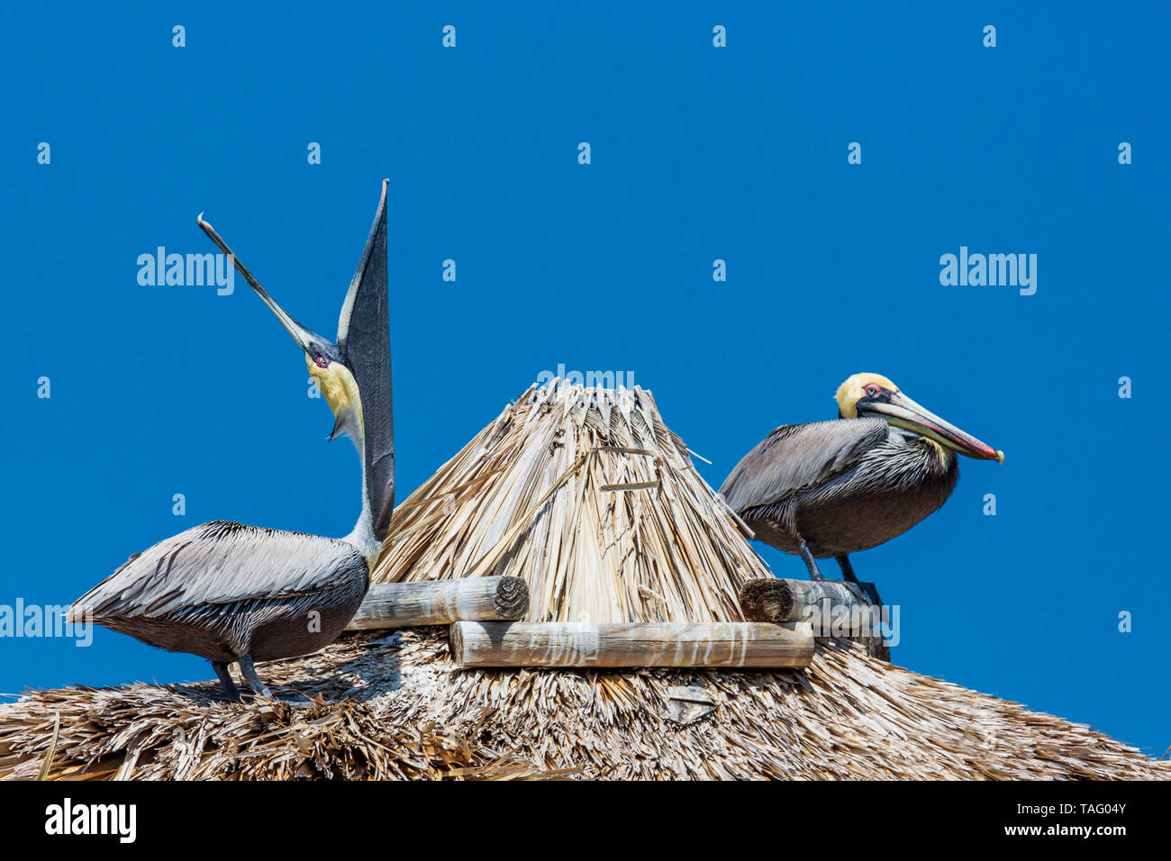 Brown pelican 5Pelecanus occidentalis), Key West, Florida, USA - Stock Image