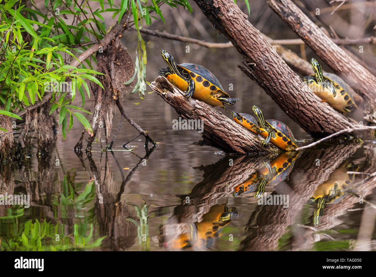 Florida Redbelly Turtle (Pseudemys nelsoni) in the Everglades Swamp, Florida, USA Stock Photo