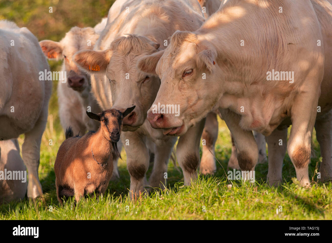 Dwarf goat of race motte (without horn) in the middle of a herd of cows of Charolais race. Orphan, the little goat was collected and adopted by cows.  - Stock Image