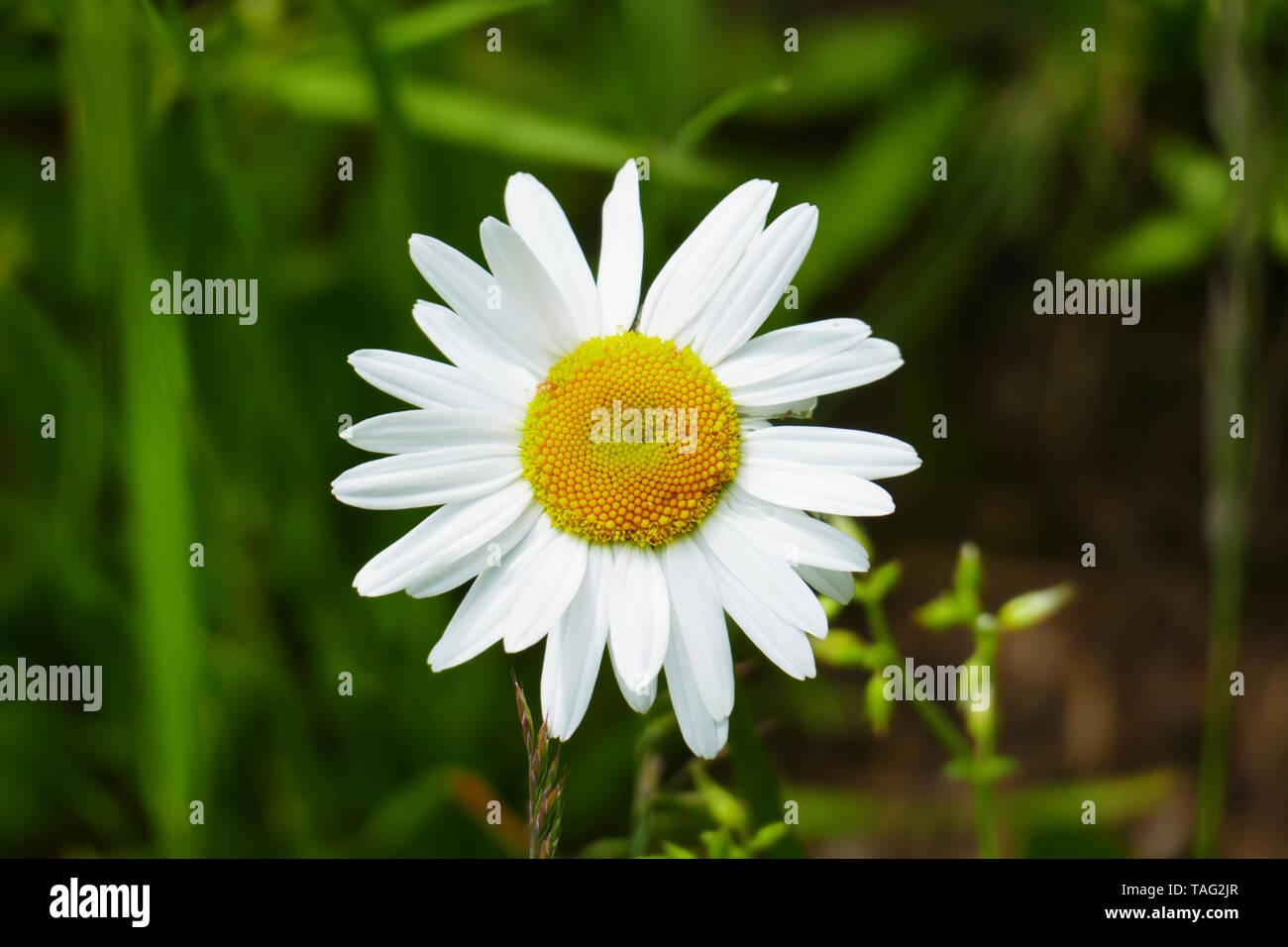 Margerite Blüte , in gelb und weiß, auf einer Wiese, im Frühjahr - Stock Image