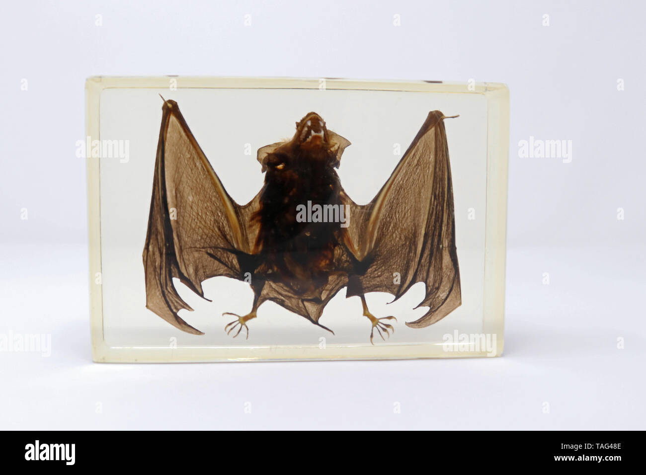 Preserved Bat Specimen in Lucite Resin - Stock Image