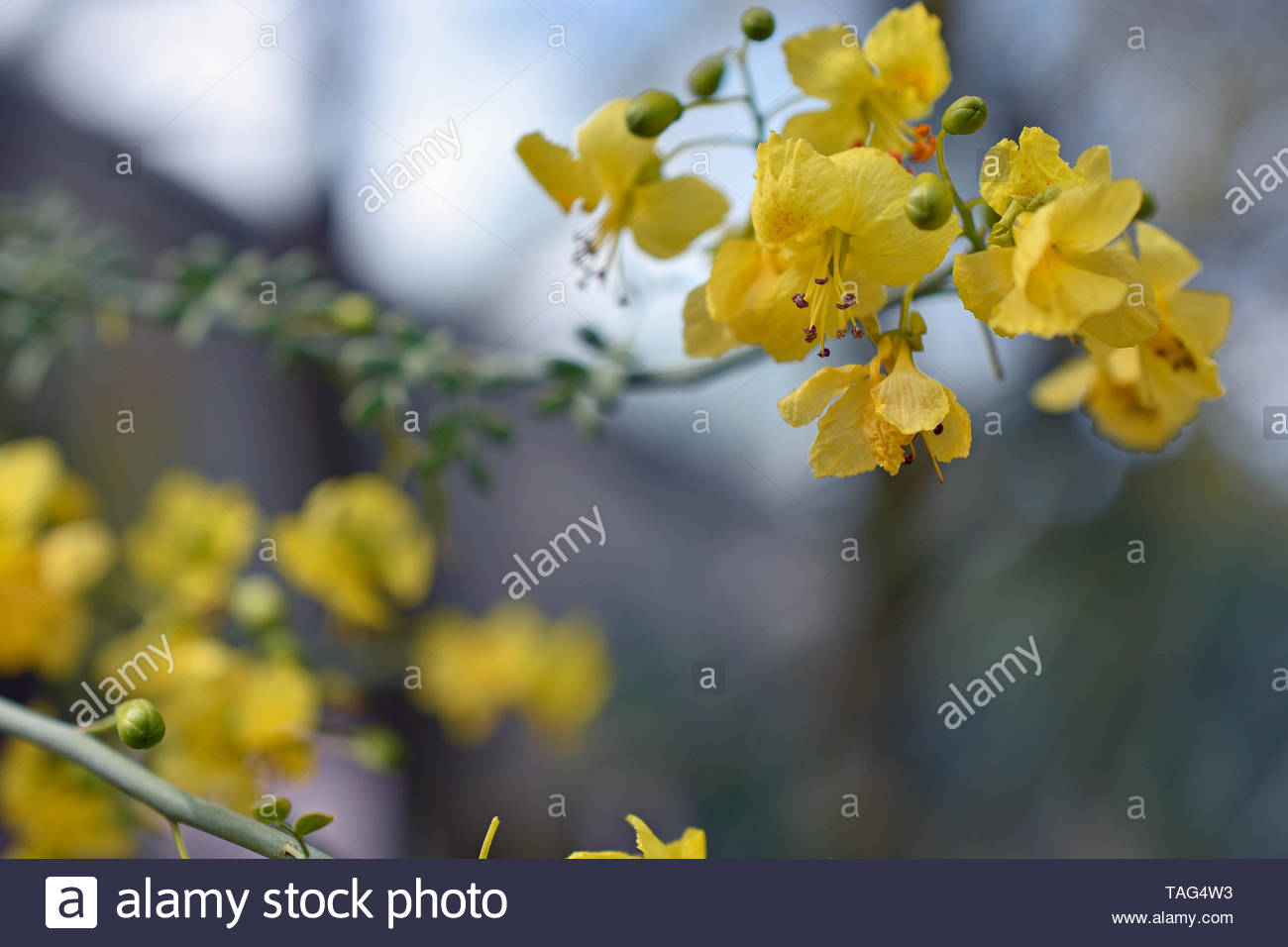 Blue Palo Verde Flowers from the Sonoran Desert in Mexico - Stock Image