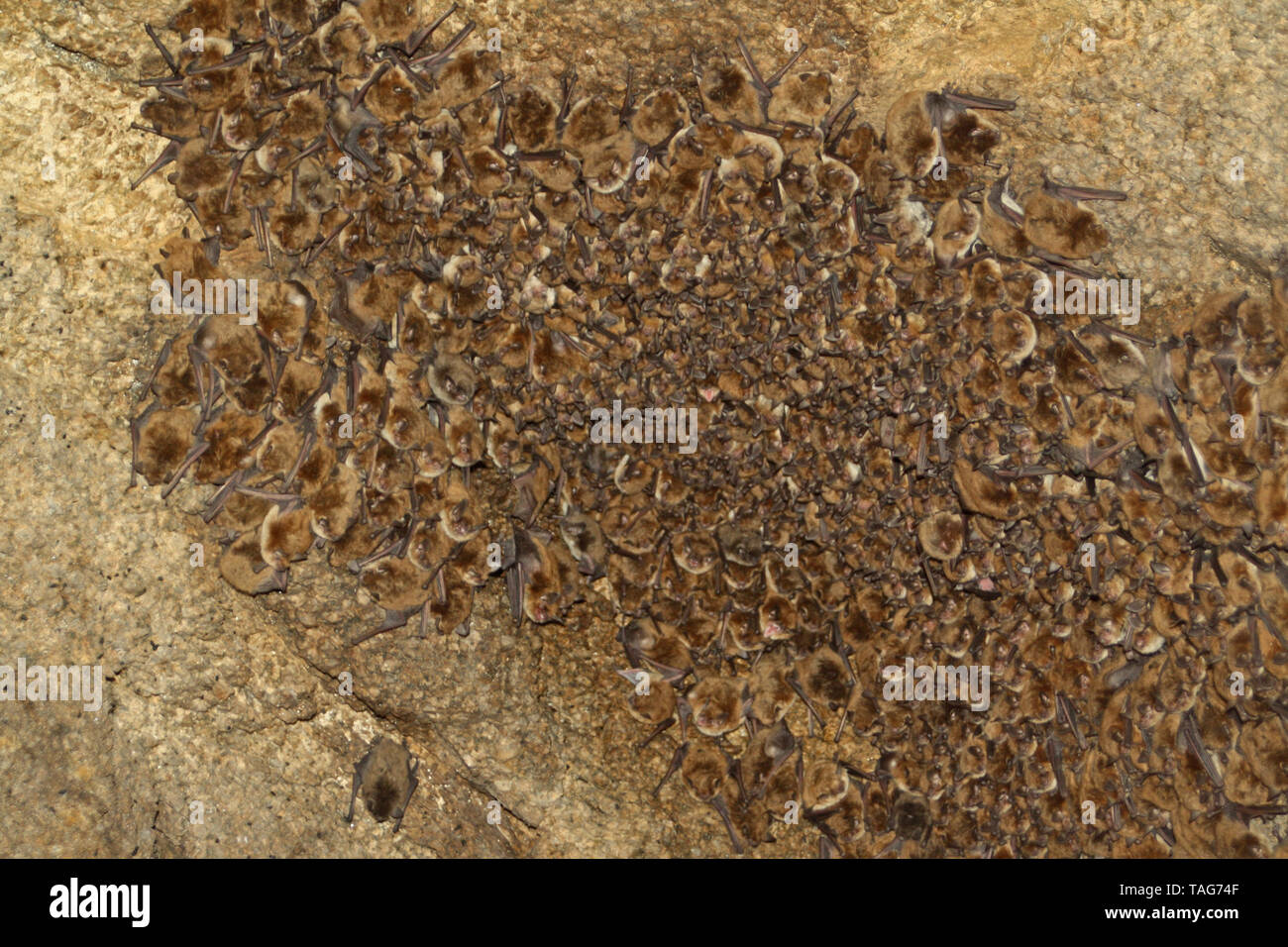 A California Myotis Bat Colony (Myotis californicus) on the roof of a cave in Southern California. - Stock Image