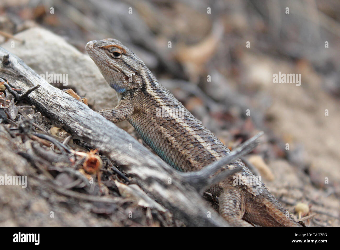 Plateau Fence Lizard Stock Photo