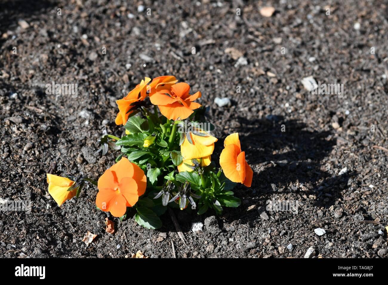 beautiful blossoms of viola tricolor in springorange npansy - Stock Image