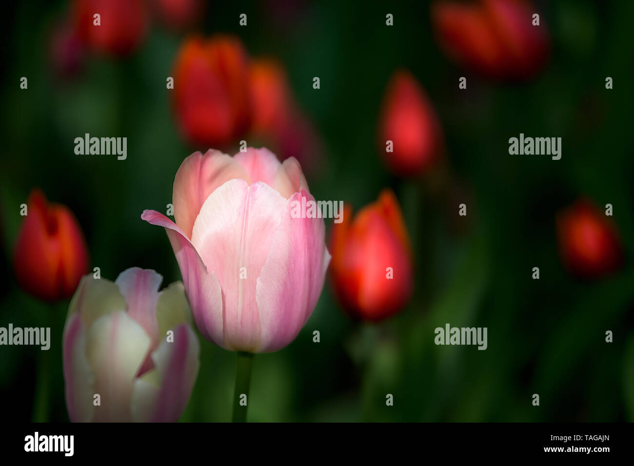 Beautiful white-pink tulip with red blurry flowers around and green background. - Stock Image