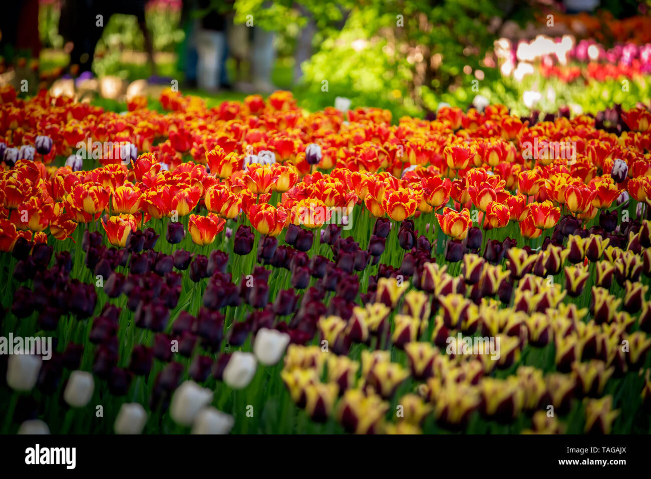Awesome colorful field of red-yellow, dark violet tulips from Tulip Festival. - Stock Image