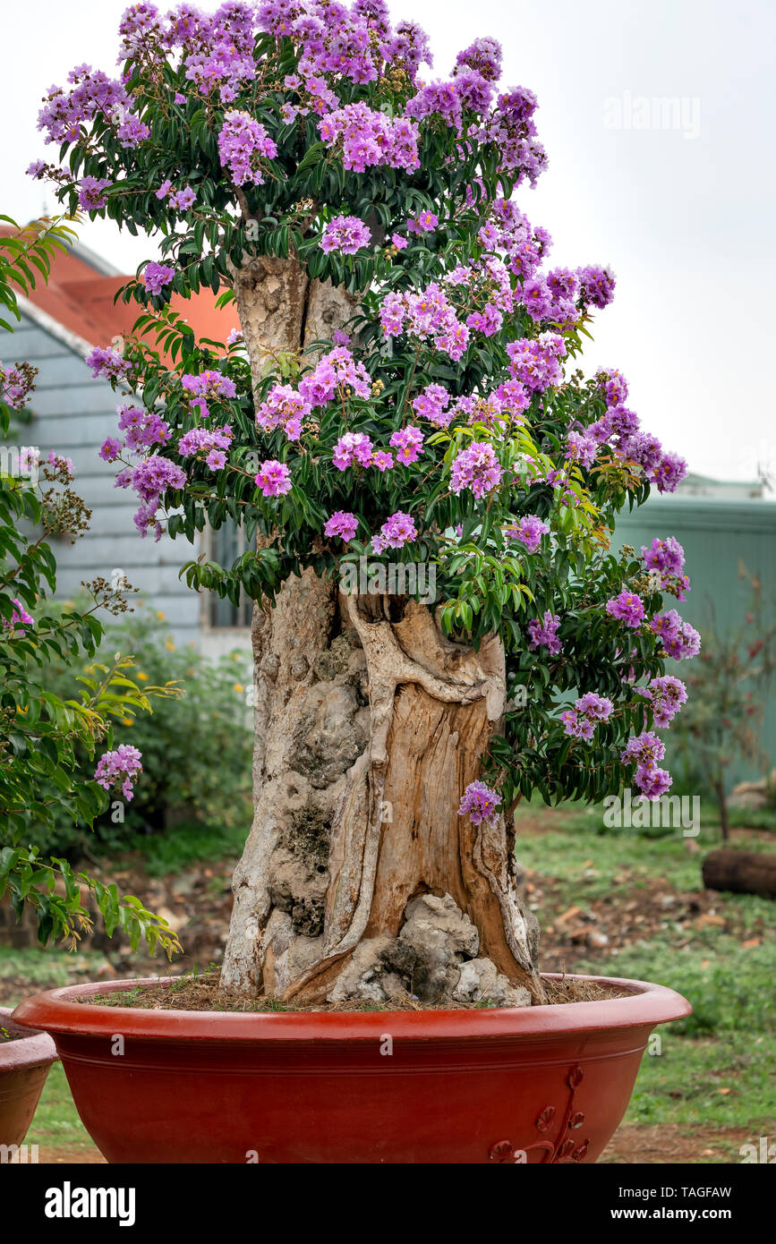 Lagerstroemia Speciosa Or Queen S Flower Bonsai Tree In A Pot In Outdoor Nature Stock Photo Alamy