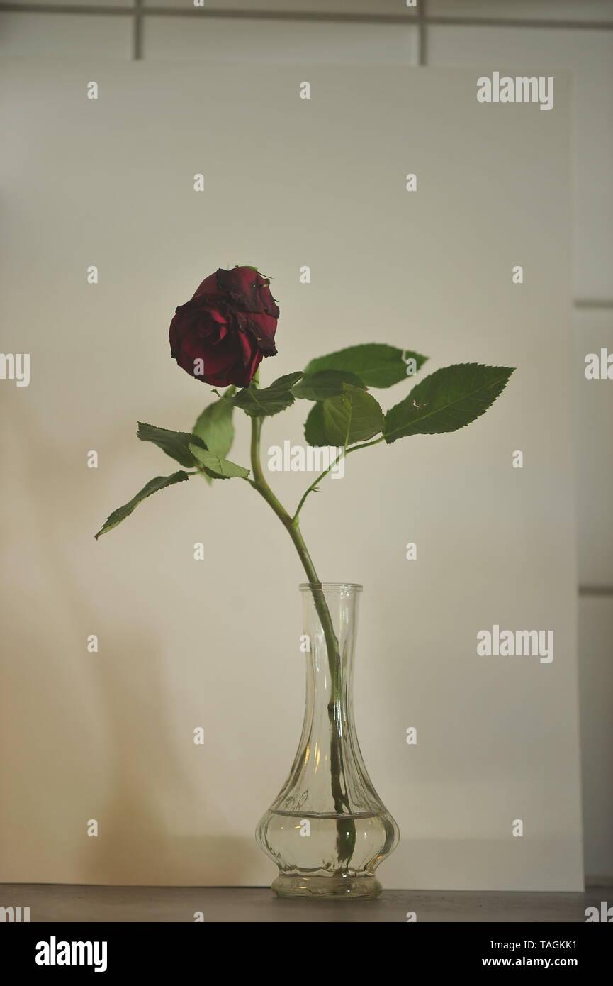 stilleben of rose flower Stock Photo