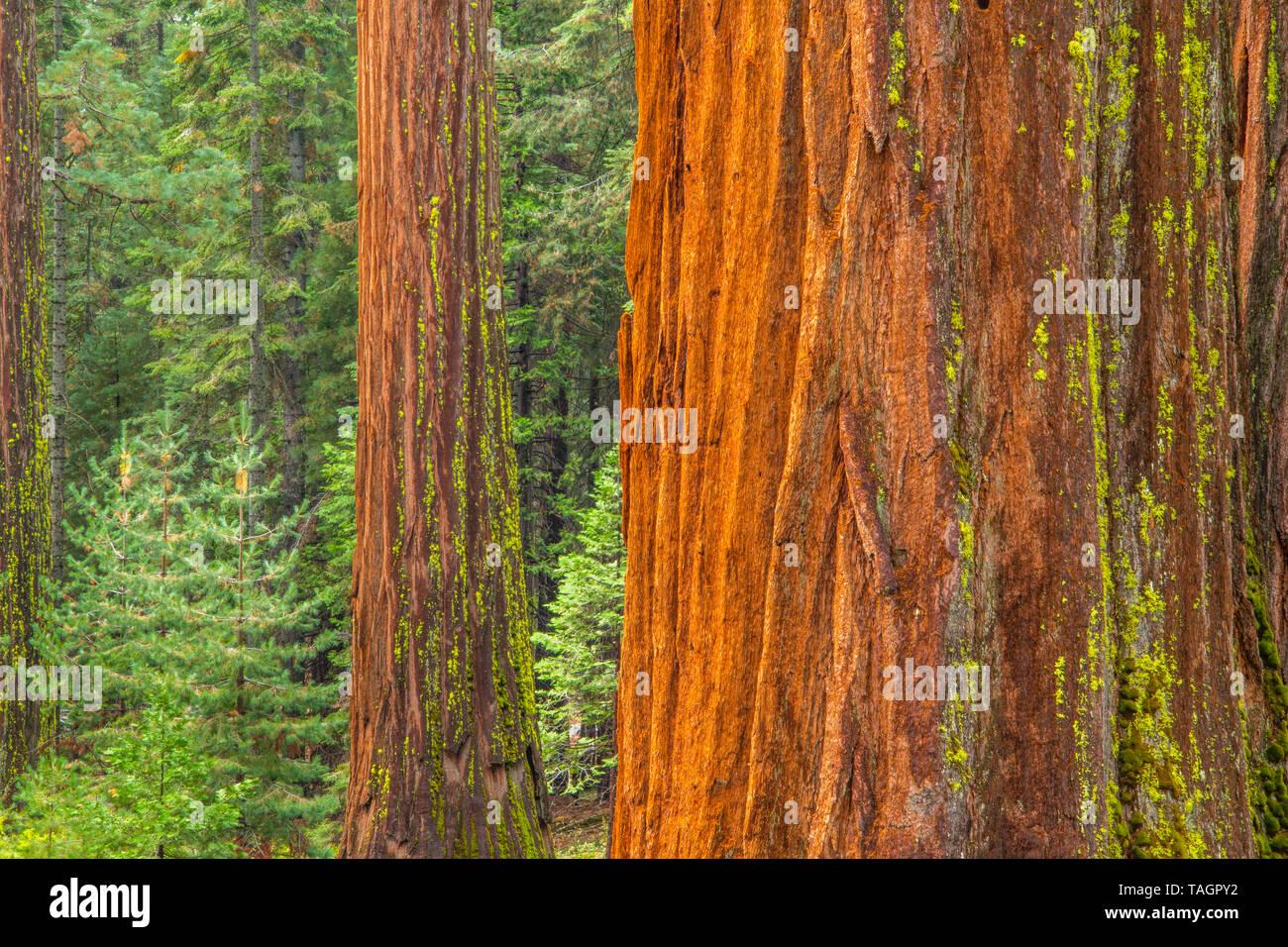 Redwood trees (Sequoiadendron giganteum), Mariposa grove, Yosemite NP, California, USA, by Bill Lea/Dembinsky Photo Assoc - Stock Image