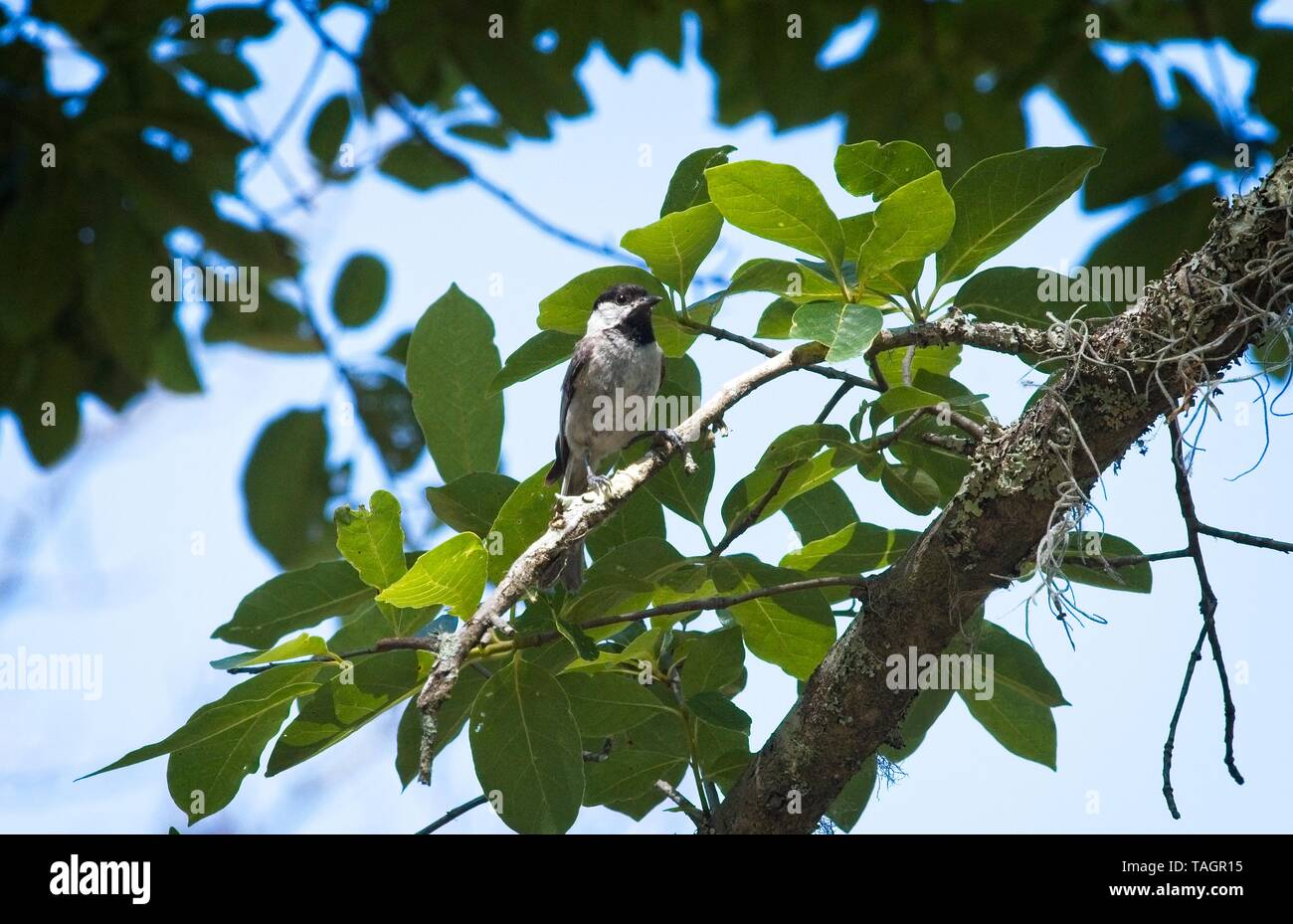 Carolina Chickadee Bird - Stock Image