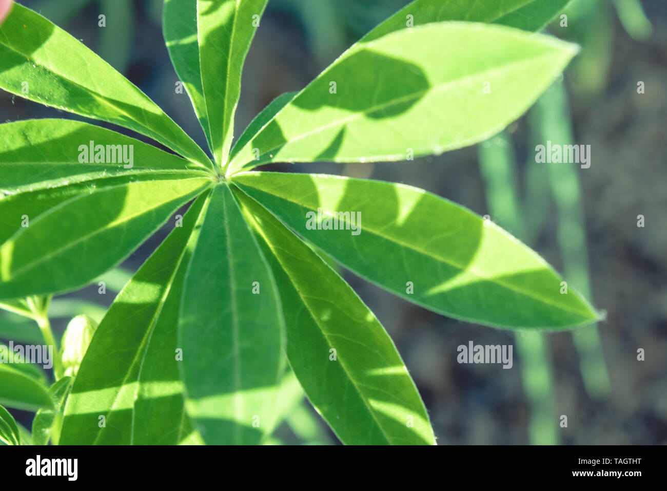 Large green leaves of flowers close up. Stock Photo