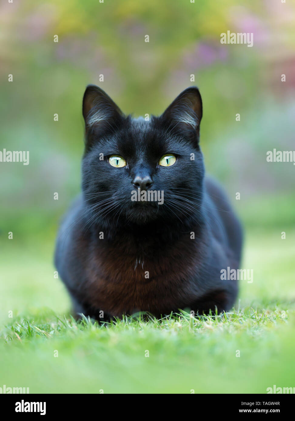 Close up of a black cat lying on grass in the garden, UK. - Stock Image