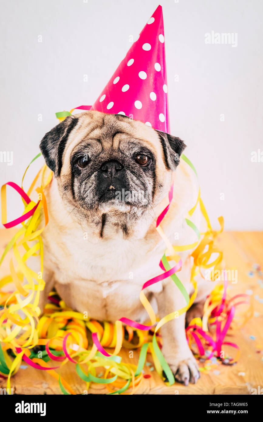 Happy and funny party event celebration concept with old bored dog pug sitting with carnival and celebrate hat and stuffs - colorful image with animal - Stock Image