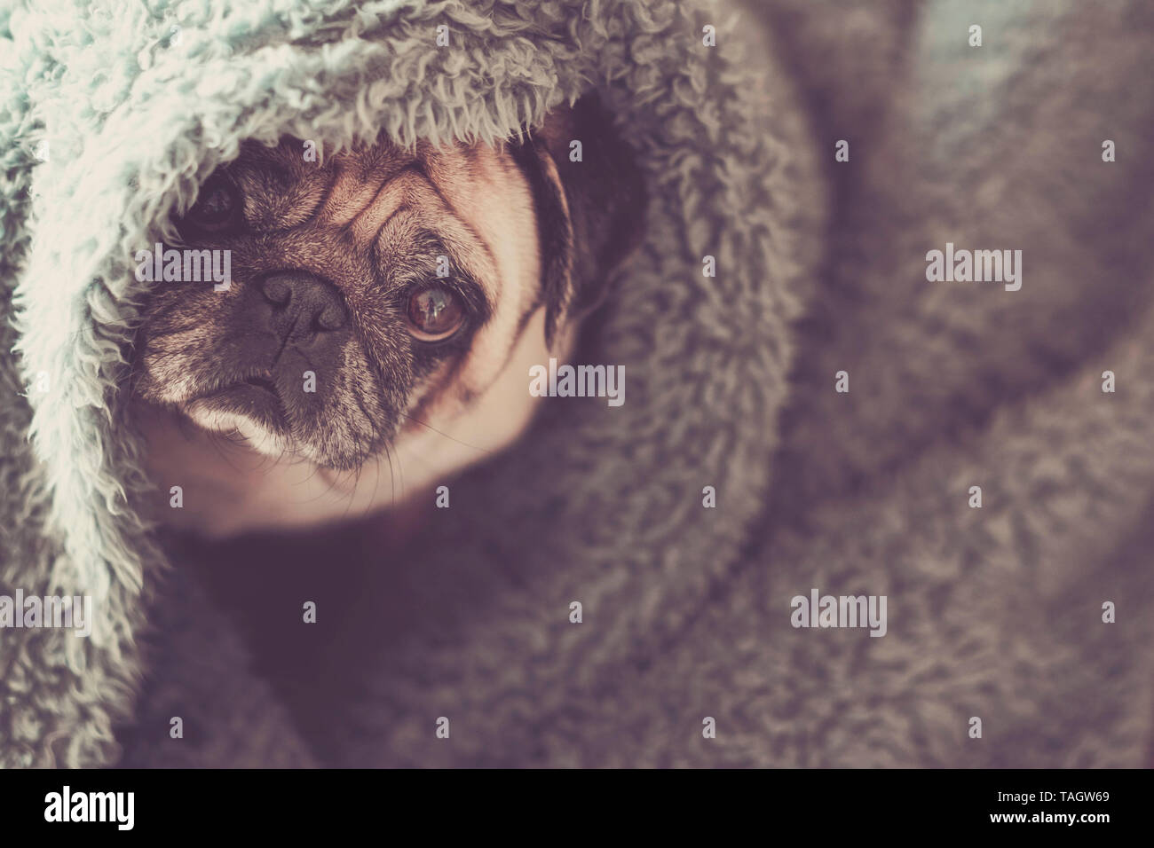 Protection and hidden dog concept with nice funny pug under blue cover at home canine lazy lifestyle and animal portrait Stock Photo