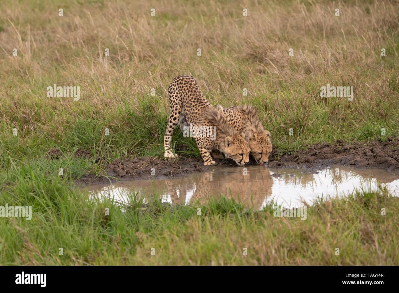 Pair of Cheetahs lapping at water hole - Stock Image