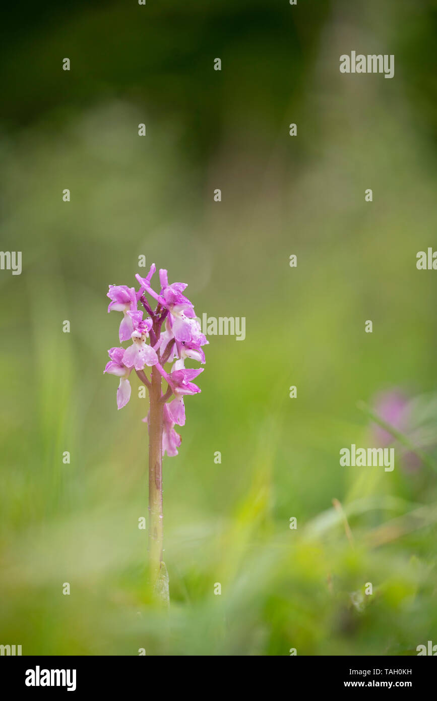 Early Purple Orchid; Orchis mascula, Warburg nature reserve - Stock Image