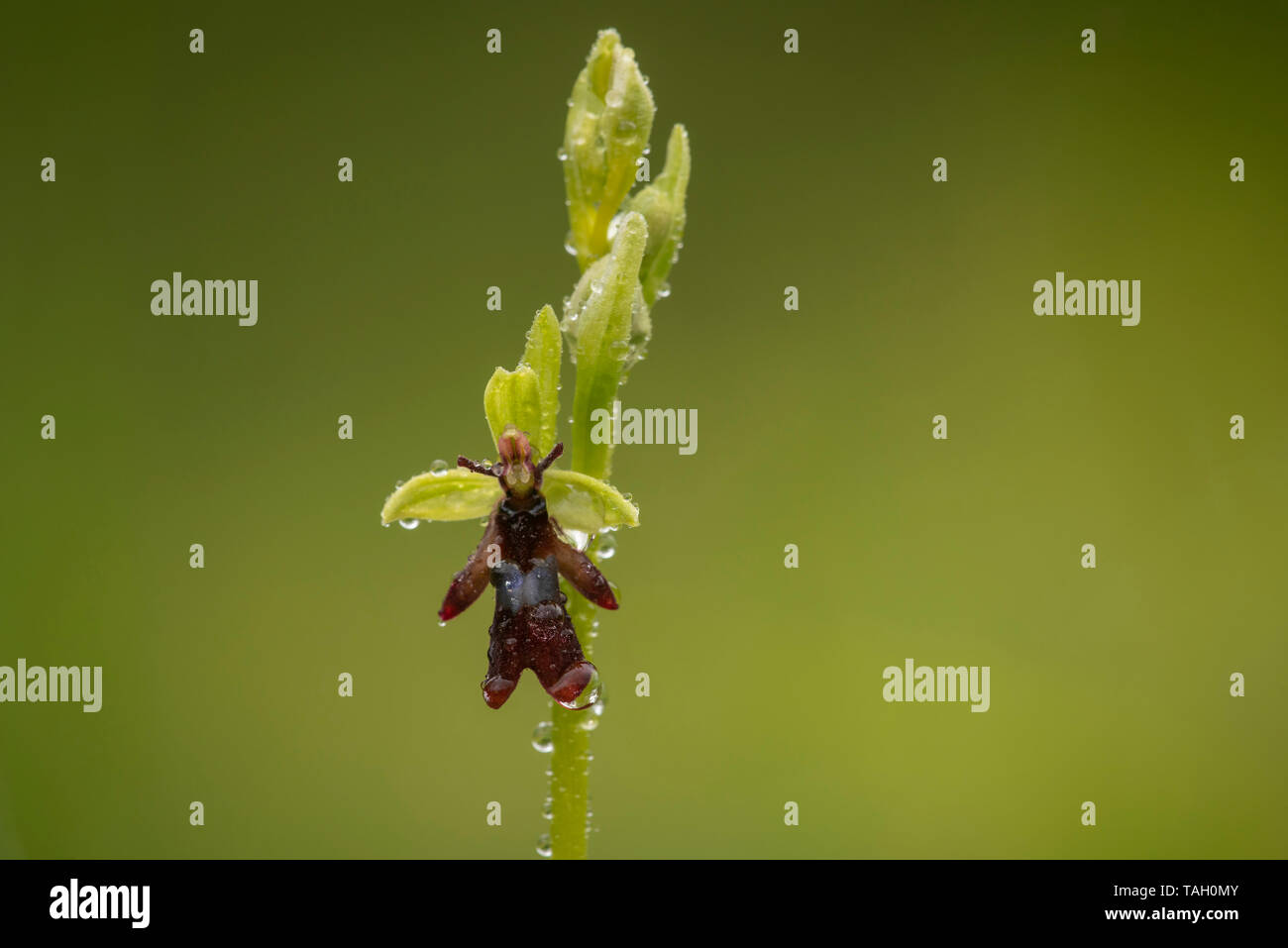 Fly Orchid; Ophrys insectifer ,Warburg nature reserve. - Stock Image