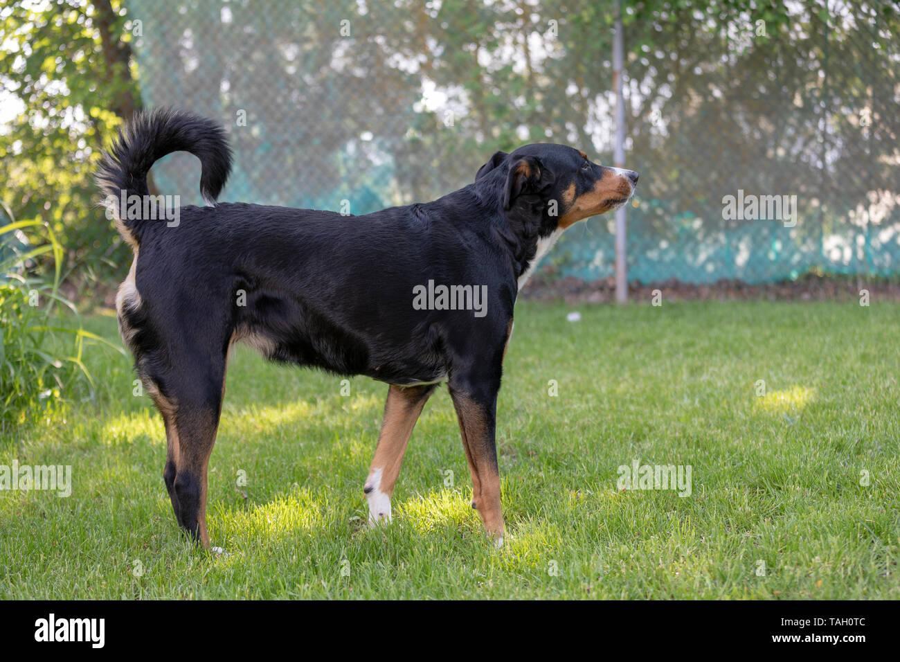 tricolor appenzeller mountain dog Barking Outdoor - Stock Image