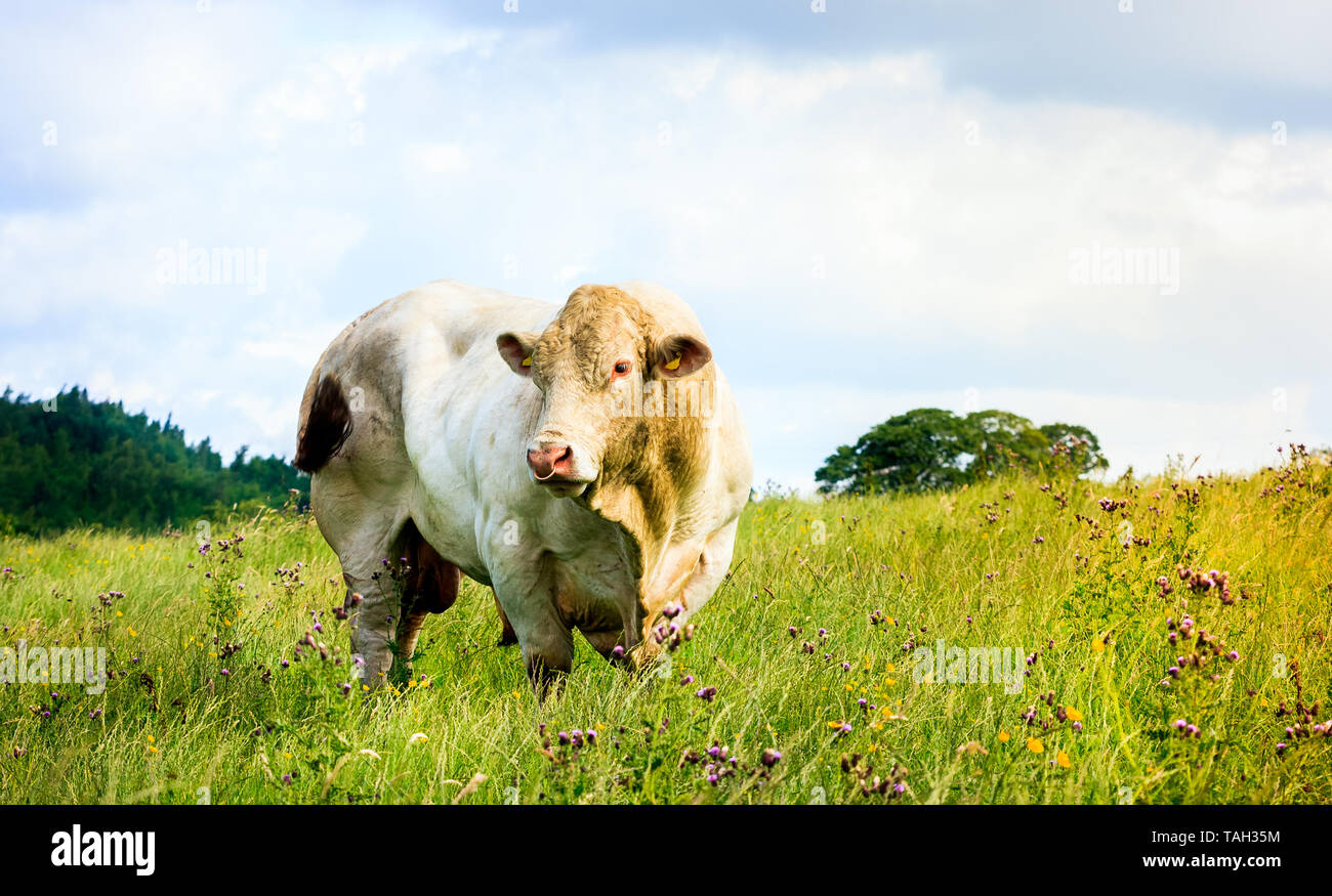 A large white breeding bull standing in a field - Stock Image