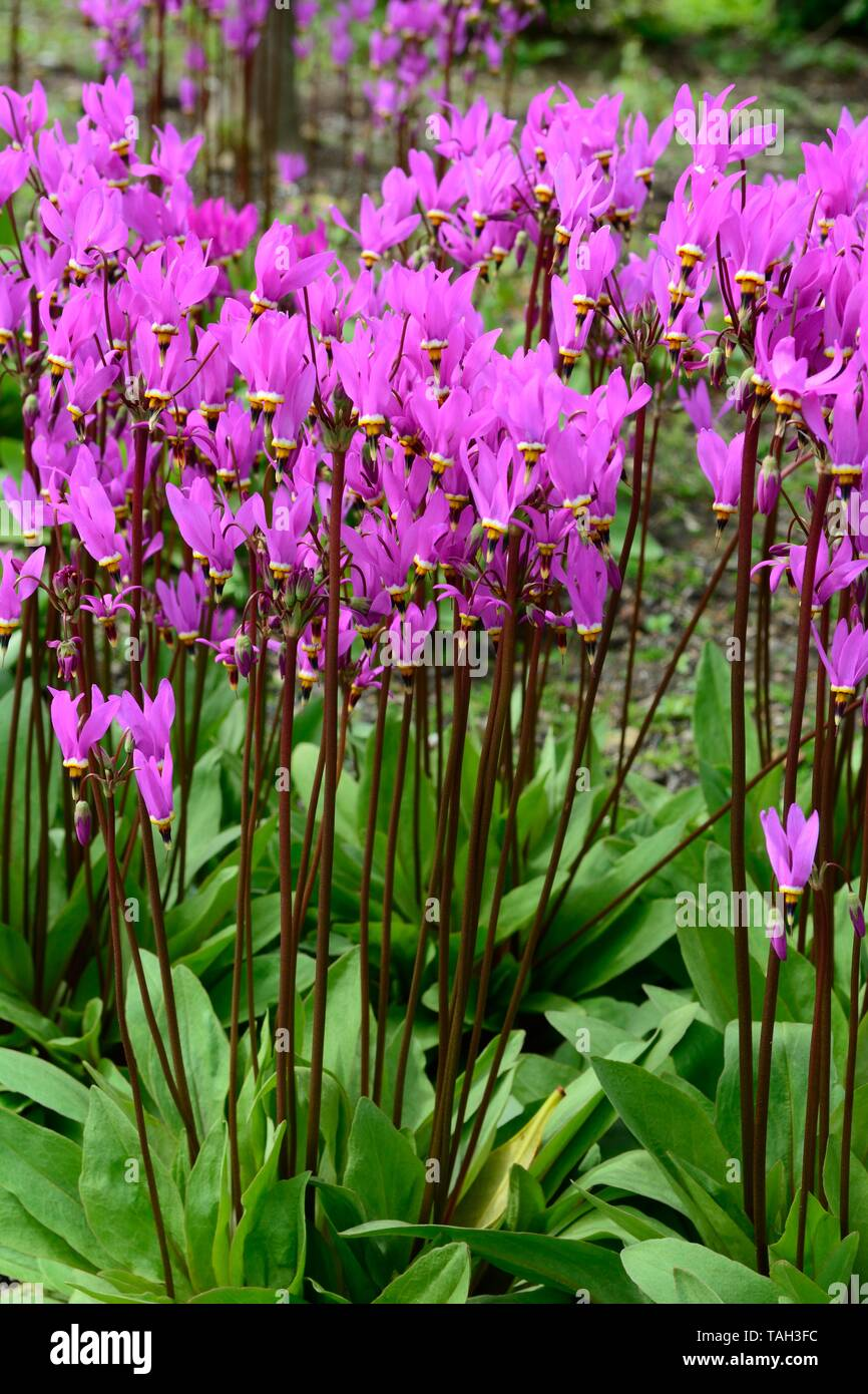 Dodecatheon media saline shooting star flowers  lilac flowers on tall stems - Stock Image