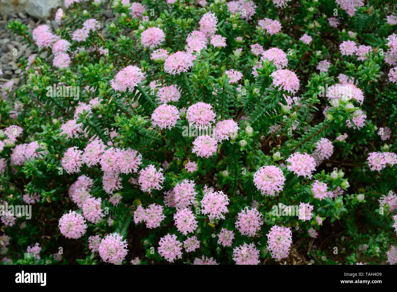 Pimelea ferruginea rice flower flowers - Stock Image