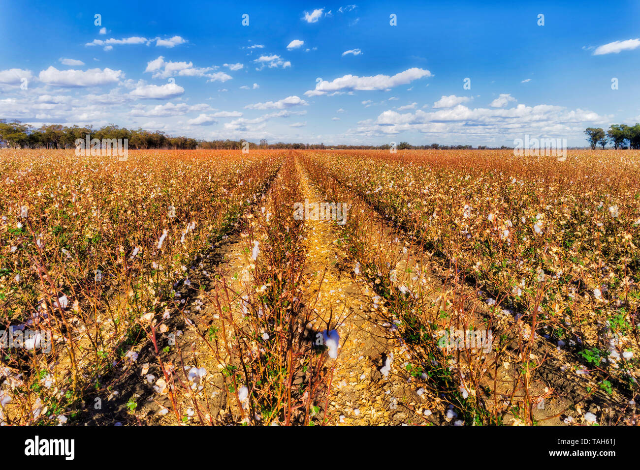 Cultivated agricultural field of blossoming cotton plants in Australian NSW moree plains region on a sunny hot day above long diminishing rows. - Stock Image