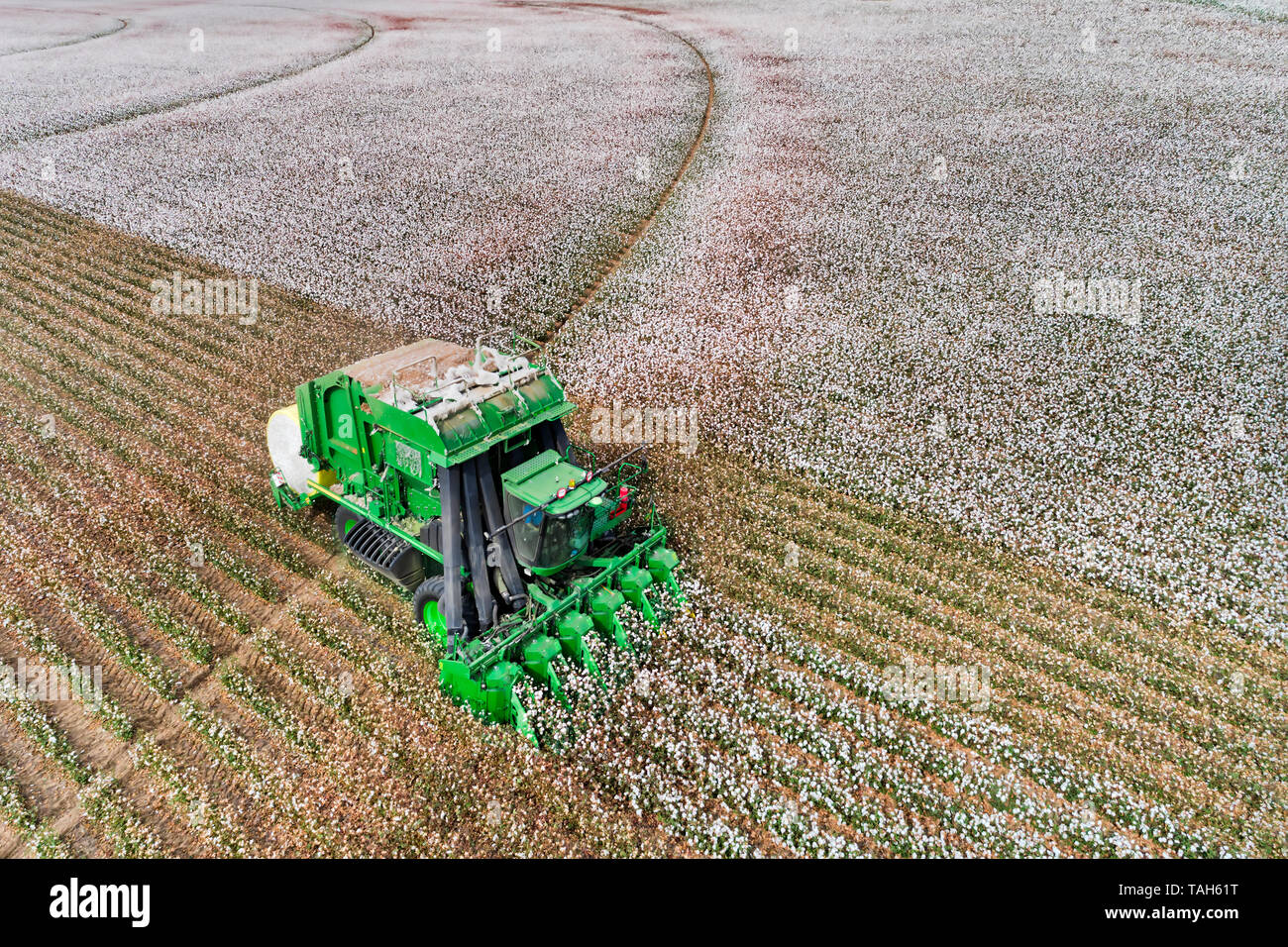 Blossoming white cotton field harvested by a combine tractor with bunker wrapping cotton into rolls on flat agricultural cultivated farm in NSW, Austr Stock Photo