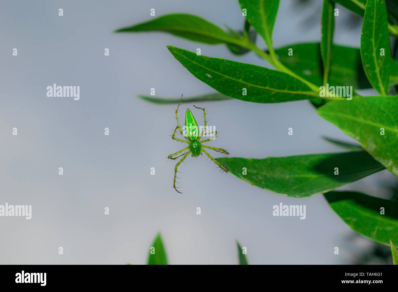 close up of a green spider hanging on by a leaf with a single thread,waiting for its prey. - Stock Image