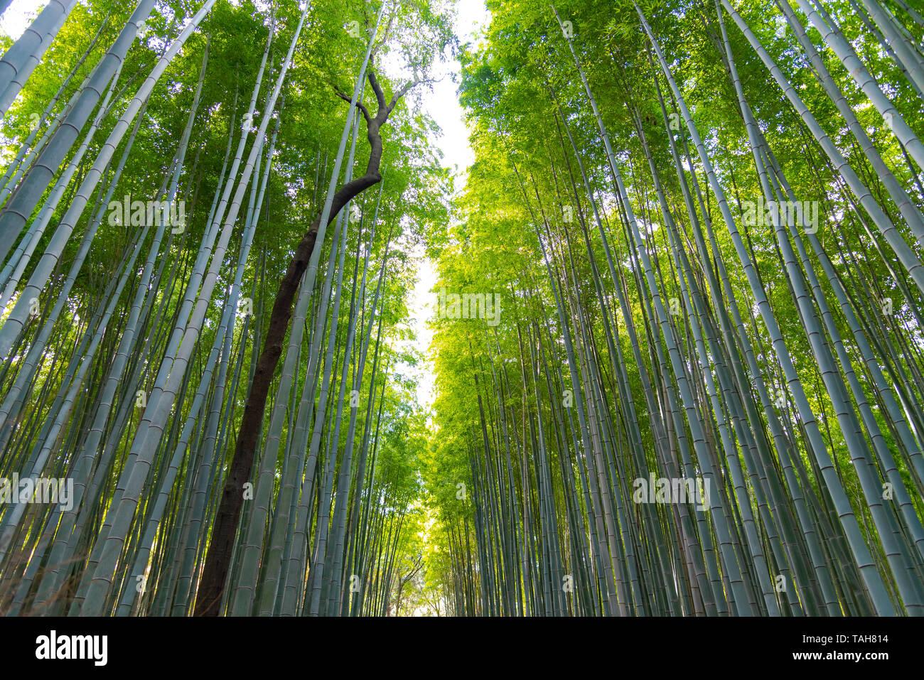 Arashiyama Bamboo Grove Zen garden, a natural forest of bamboo in Arashiyama, Kyoto, Japan Stock Photo